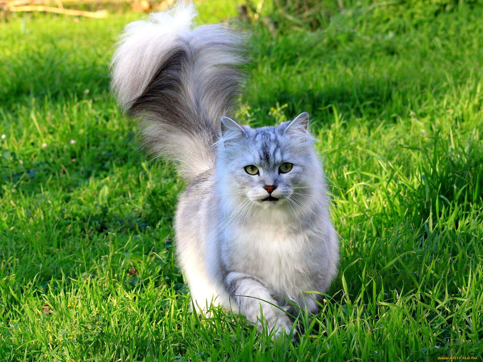 современные пушистый хвост кота картинка сможете